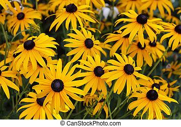 Black eyed susan flowers for natural background