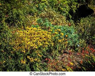 Black-eyed Susan flowers in an English country garden
