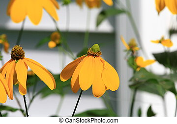 black eyed susan flowers only the flower in the middle is in...