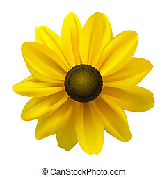 Black Eyed Susan (Rudbeckia Hirta) flower on white. Vector...
