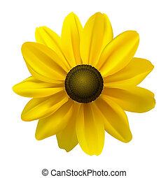 Black Eyed Susan (Rudbeckia Hirta) flower on white. Vector ...