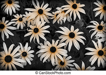Black Eyed Susan flowers in garden close up. Selective...