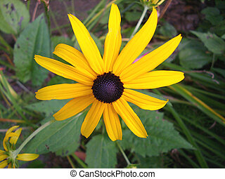 black-eyed susan in a field of wilderness