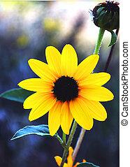 Black Eyed Susan - Vertical - Black Eyed Susan wild daisy