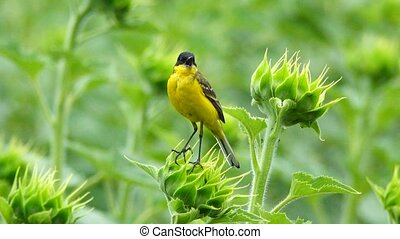 black-eyed wagtail sits on a sunflower and sings before the...