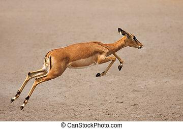 Black-faced impala (female) running over sandy plains of Etosha at waterhole; Aepyceros melampus petersi