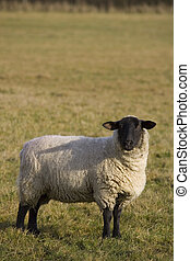 A black faced sheep in an English field