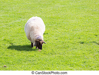 Black faced sheep grazing in a field
