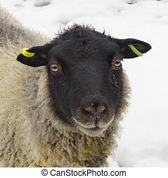 Black Faced Sheep In The Snow
