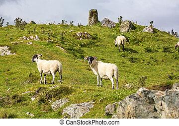 Black faced sheep on the Isle of Skye