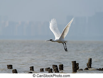 Black-faced Spoonbill in shenzhen China, This species is known as a winter migrant in China. IUCN is now listed this species as an Endangered (EN) bird (Current IUCN Red List category).