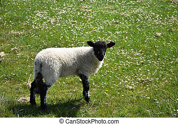 Black Faced Young Lamb in a Field with Small Flowers