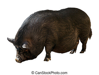 Black farm pig over white background