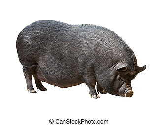pig over white background