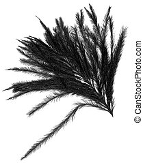 black feather isolated on white
