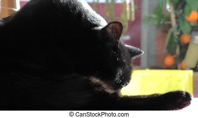 cat personal care - Black female cat personal care, cleaning...