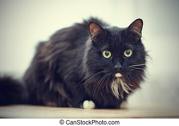 Fluffy Black Cats With Green Eyes