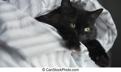 Lovely black fluffy cat with green eyes lies wrapped in a blanket with its paws out. Slow motion