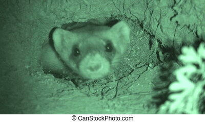 Black Footed Ferret - Black-footed Ferret