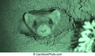 Black Footed Ferret - Black-footed Ferret