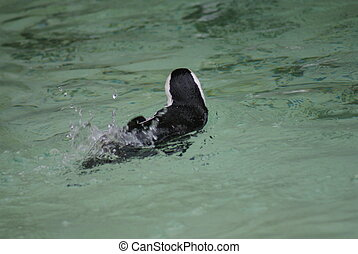 Black-footed Penguin - Spheniscus demersus