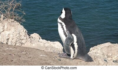 Black footed penguin. Province Chubut, Argentina