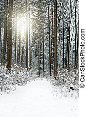 Black forest at winter season, path with snow and conifers trees with sunshine
