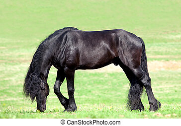 Black Friesian horse in field.