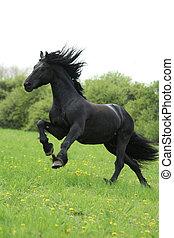 Black friesian horse runninng on pasturage