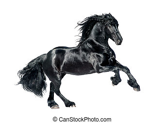 black , friesian, paarde, vrijstaand, op wit, achtergrond