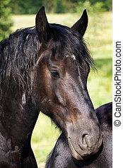 Black Friesian stallion portrait