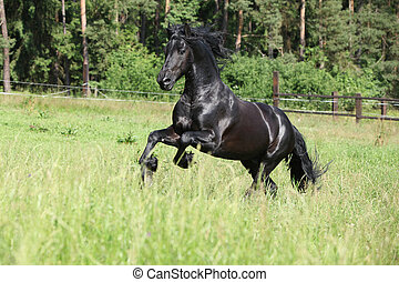 Black friesian stallion running