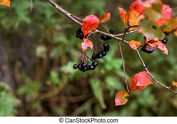 Black-fruited mountain ash. Garden tree.