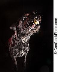 Black funny dog eating food.