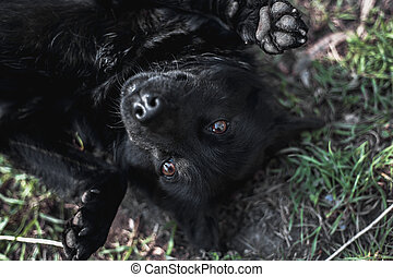 Black funny dog lying on grass