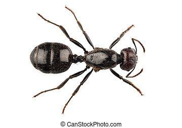 Black garden ant species Lasius niger - Black garden ant...
