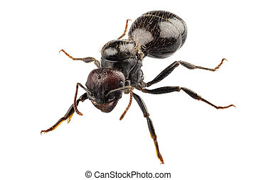 Black garden ant species Lasius niger in high definition with extreme focus and DOF (depth of field) isolated on white background