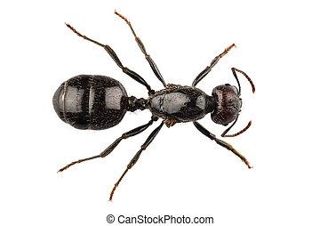 Black garden ant species Lasius niger - Black garden ant...
