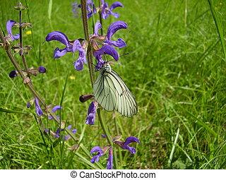 black , geaderd, witte , vlinder