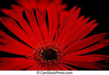 black., gerbera, rosso