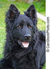 Black German Shepard dog in a garden