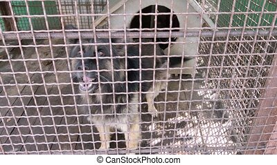 black German shepherd in the cage barks
