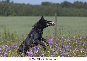 Black german shepherd is running on a field with blossoming meadow