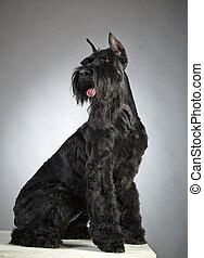 Black Giant Schnauzer dog on gray background