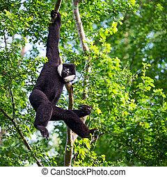 Black Gibbon males.