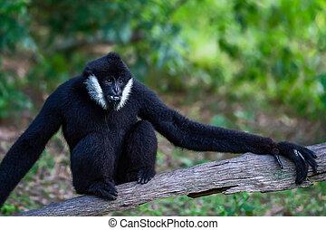 Black Gibbon males. - Black Gibbon males on the timber.