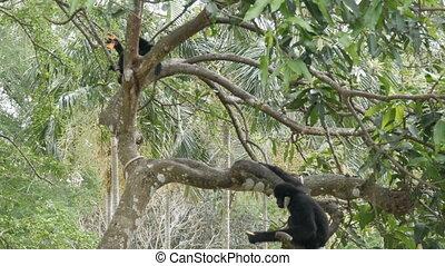 Black Gibbon ride on the tree branches - Black Gibbon ride...