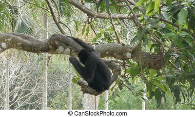 Black Gibbon ride on the tree branches - Black Gibbon ride...