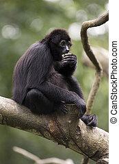 Black Gibbon - A black-haired gibbon eats a piece of fruit