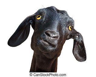 Black goat isolated on white